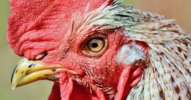 Csirkék a blokkláncon