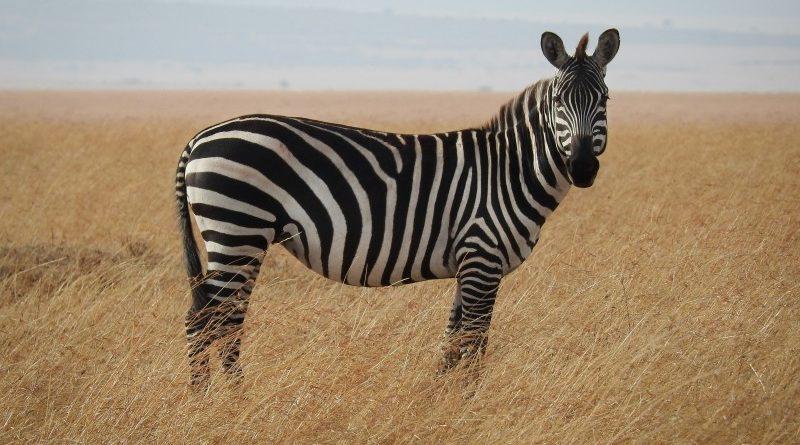 A Zcash bejelentette a Zebra klienst: jöhetnek a dappok a Zcash blokkláncra