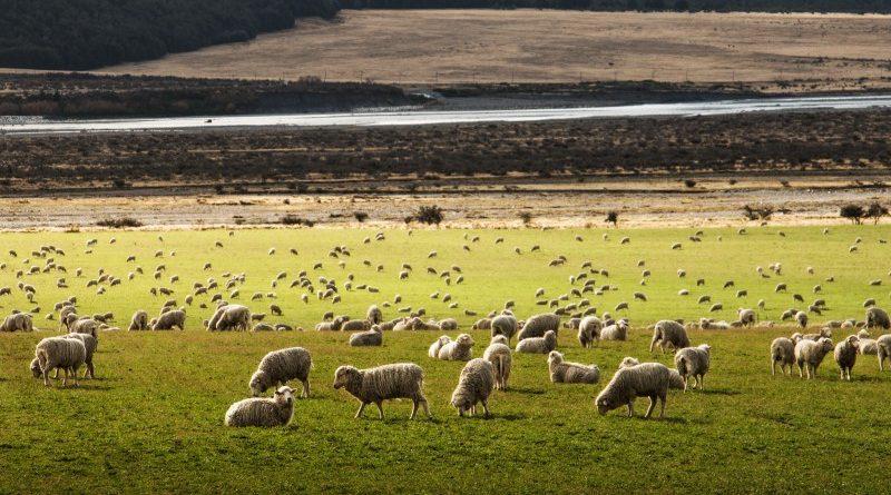 Új-Zéland, adóhatóság, bárányok